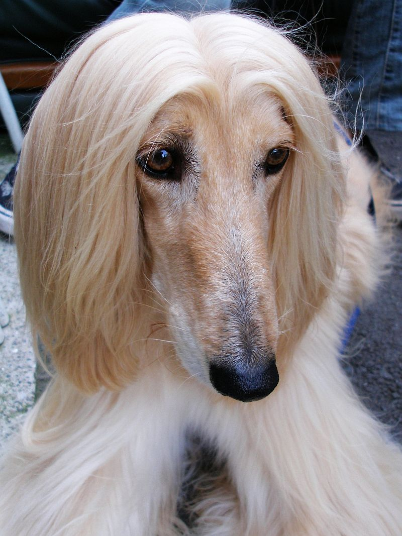 Hahaha pet of the week scruffles afghan hound